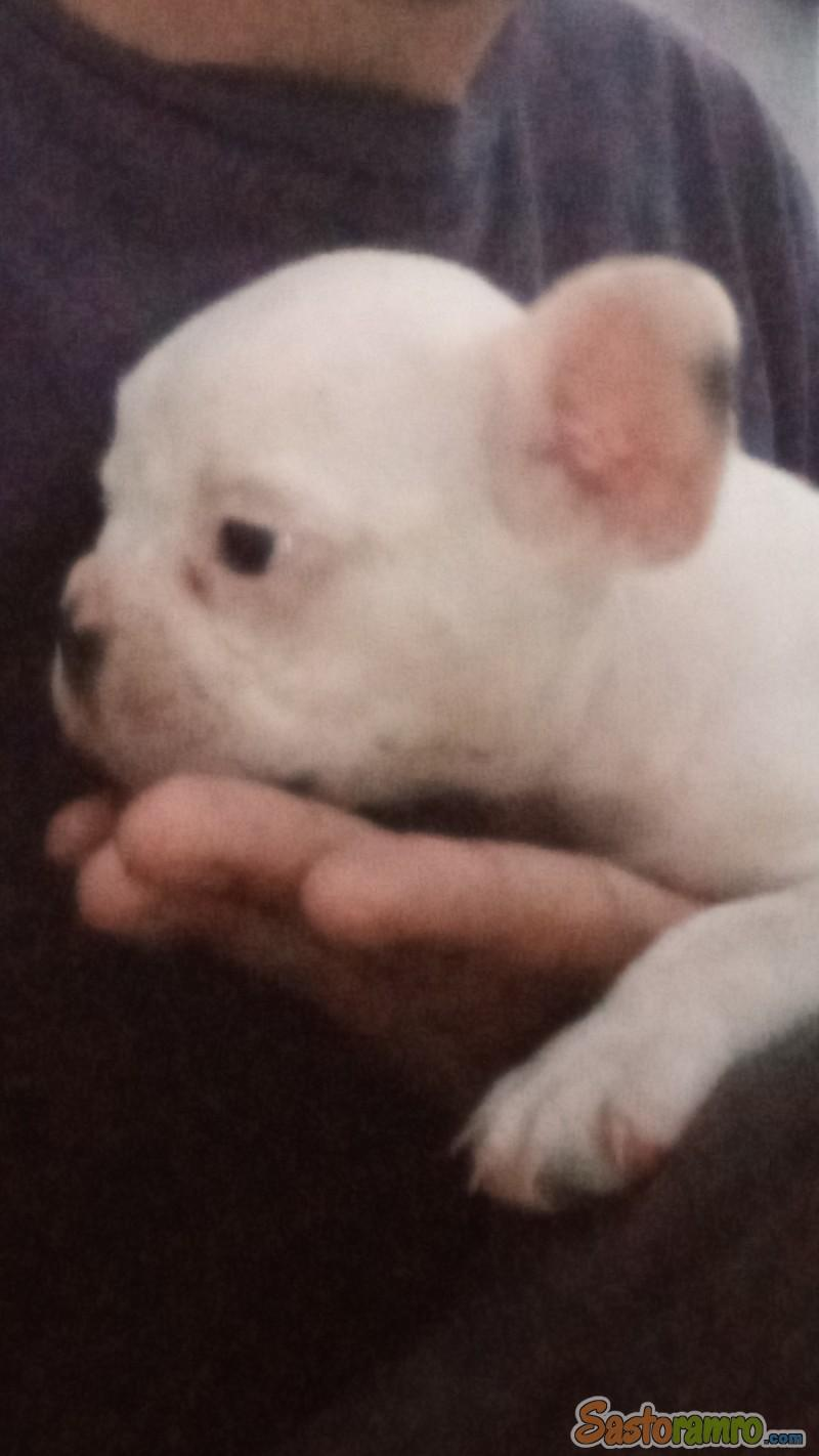 35 days old French Bulldog Puppies