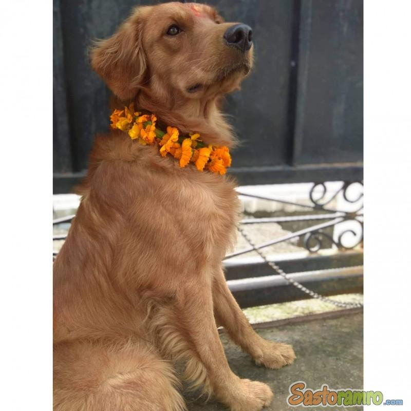 1.5 yr(male) old purebreed Golden Retriever Adult Dogs
