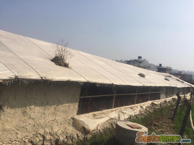 Poultry farm sale in Kirtipur (Kathmandu)