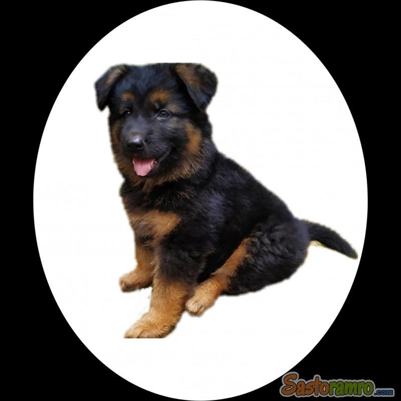 Well body developed German Shepherd