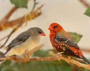 Strawberry finches