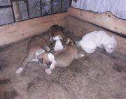 1 month old Boxer Puppies