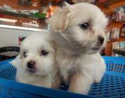 45 days old Lhasa Apso Puppies On sale.