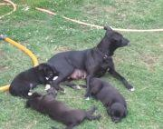 8 weeks old Mixed Breed Puppies