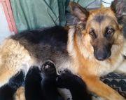 1month old German Shepherd Puppies