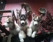 5t old Siberian Husky Puppies