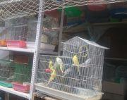 Lovebirds on sale