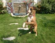 3 yrs old Boxer Adult Dogs