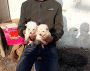 1 month old Japanese Spitz Puppies
