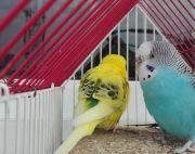Budgie(Love Birds)
