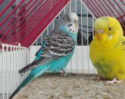 Budgie (Love Birds)