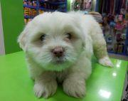 Well breed Apso puppy on sale.
