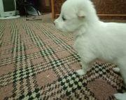 1month old Japanese Spitz Puppies
