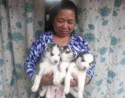 1month old Siberian Husky Puppies