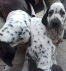 Newly born 1 & half months old Dalmatian Puppies
