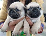 Snub nose pug puppies waiting for new Home
