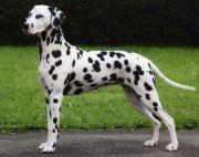 1 year old Dalmatian Adult Dogs