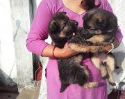Pure Double coated gsd gemale puppies