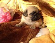 55days old Pug Puppies on sale.