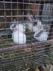 Gift rabbits