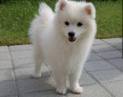 40 days 100% pure breed  Japanese Spitz Puppies