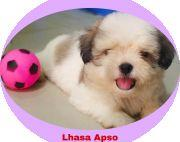 Lhasa Apso Puppies in Nepal