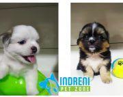 Lhasa Apso Puppies in sale at Kathmandu