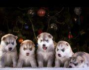 55days old Siberian Husky Puppies on sale