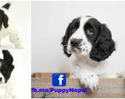 55days old Black and white Cocker Spaniel Puppies In Nepal