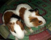 guinea pig pair for sale