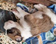 18 days old St. Bernard Puppies
