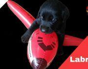 Z Black Labrador puppy