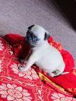 45 days old Pug Puppies